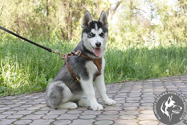 Siberian Husky leather leash of classic design with riveted hardware for basic training