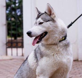 News : Siberian Husky harness,Siberian Husky muzzle,Siberian